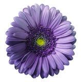 Isolerade den violetta blomman för gerberaen på vit bakgrund med den snabba banan Inget skuggar closeup arkivbild