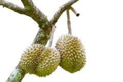 Isolerade Durians med trädet Royaltyfri Fotografi