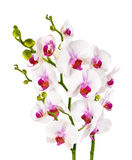 Isolerade eleganta vita orkidér - Arkivbild