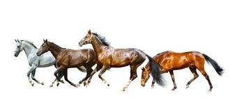 Isolerade fullblods- hästar Royaltyfri Fotografi