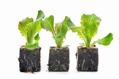 Isolerade grönsallatplantor Arkivfoton