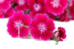 Isolerade härliga rosa färger för Dianthusbarbatusblommor intensely Arkivfoto