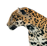 Isolerade Jaguar (Pantheraonca) royaltyfri bild