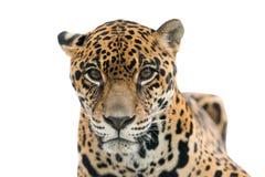 Isolerade Jaguar (Pantheraonca) royaltyfria foton