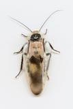 isolerade kackerlackor Royaltyfri Fotografi