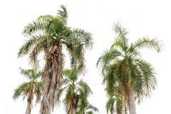 Isolerade kokosnötpalmträd Fotografering för Bildbyråer