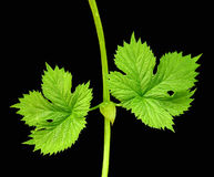 isolerade leafs royaltyfri foto