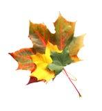 isolerade leaves Arkivbild