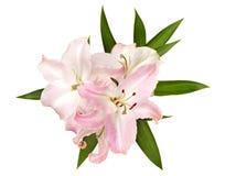 isolerade liljar pink white royaltyfri fotografi