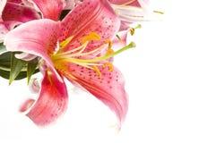 isolerade liljar pink white Royaltyfri Foto