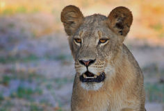 Isolerade Lion Cub som framåtriktat ser royaltyfri fotografi
