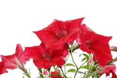 isolerade ljusa blommor rain red Arkivfoton