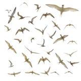 isolerade många seagulls Royaltyfri Fotografi