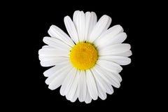 Isolerade Marguerite Flower Arkivfoto
