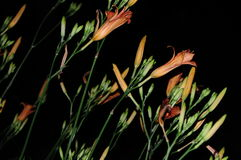 Isolerade orange dagliljor, Hemerocallis Arkivfoton