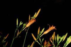 Isolerade orange dagliljor, Hemerocallis Royaltyfria Bilder