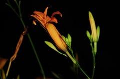 Isolerade orange dagliljor, Hemerocallis Fotografering för Bildbyråer