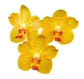Isolerade orange orkidéblommor - Vanda Arkivfoton