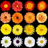 Isolerade röda, orange, gula och vita blommor royaltyfri bild