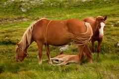 isolerade roliga hästar för djur tecknad filmteckenfamilj Fotografering för Bildbyråer