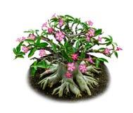 Isolerade rosa blommor deserterar den rosa eller impalaliljan Royaltyfri Fotografi