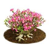 Isolerade rosa blommor deserterar den rosa eller impalaliljan Fotografering för Bildbyråer
