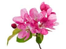 Isolerade rosa blomningar av ett äppleträd Arkivfoto