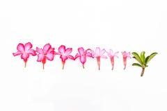 Isolerade rosa färgblommor royaltyfri fotografi