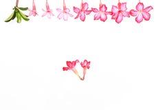 Isolerade rosa färgblommor Arkivbild