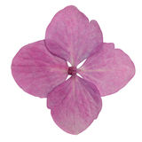isolerade rosa för blomma single vanlig hortensia Arkivbild