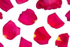 Isolerade rosa och ljusa rosa kronblad Royaltyfri Fotografi