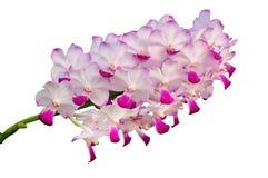 Isolerade rosa orkidéblommor Royaltyfri Fotografi