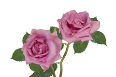 isolerade rosa ro Royaltyfri Fotografi