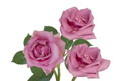 isolerade rosa ro royaltyfria foton