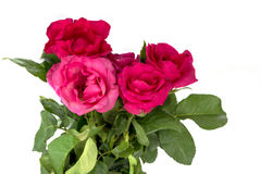Isolerade rosor Royaltyfri Fotografi