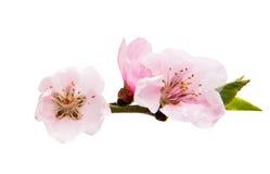 Isolerade Sakura blommor Arkivfoto