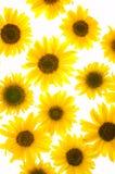 isolerade solrosor Royaltyfria Foton