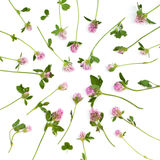 Isolerade växt av släktet Trifoliumblommor Royaltyfri Bild