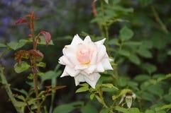 Isolerade vita blommor för makroen rosor Royaltyfri Foto