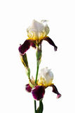 Isolerade vita iriers för bordeaux (två blommor och en knopp) royaltyfri foto