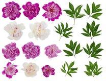 Isolerade vita verkliga pioner för rosa färger och Royaltyfri Bild