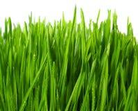 isolerade wheatgrass Fotografering för Bildbyråer