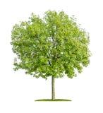 Isolerat askaträd Royaltyfri Bild