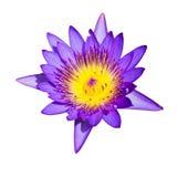 Isolerat av blå lotusblomma på vit bakgrund Fotografering för Bildbyråer