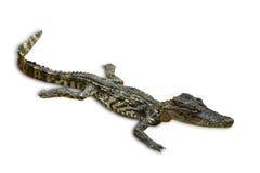 Isolerat av saltvattens- krokodiler i Thailand, snabb bana Royaltyfri Bild