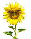 Isolerat bära för solros solglasögon Arkivbild