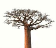 Isolerat Baobabträd från Madagascar Arkivbild