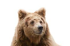 Isolerat björnhuvud royaltyfria bilder