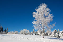 Isolerat björkträd som täckas med ny snö Royaltyfria Bilder