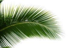 Isolerat blad av kokosnötpalmträdet Arkivfoto